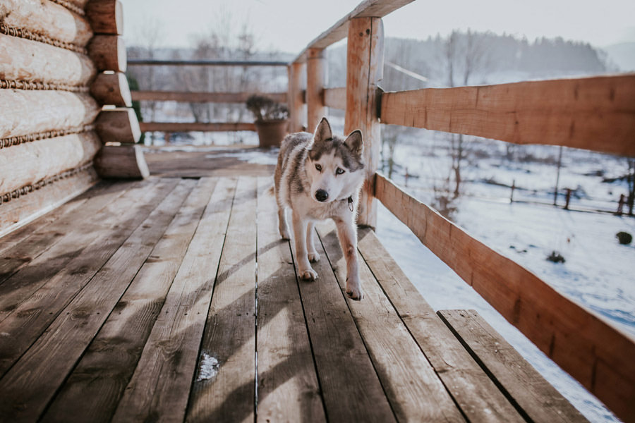 husky in the wooden cabin