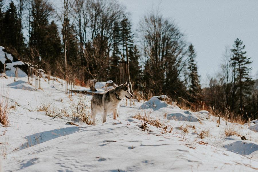 husky standing in snowy landscape