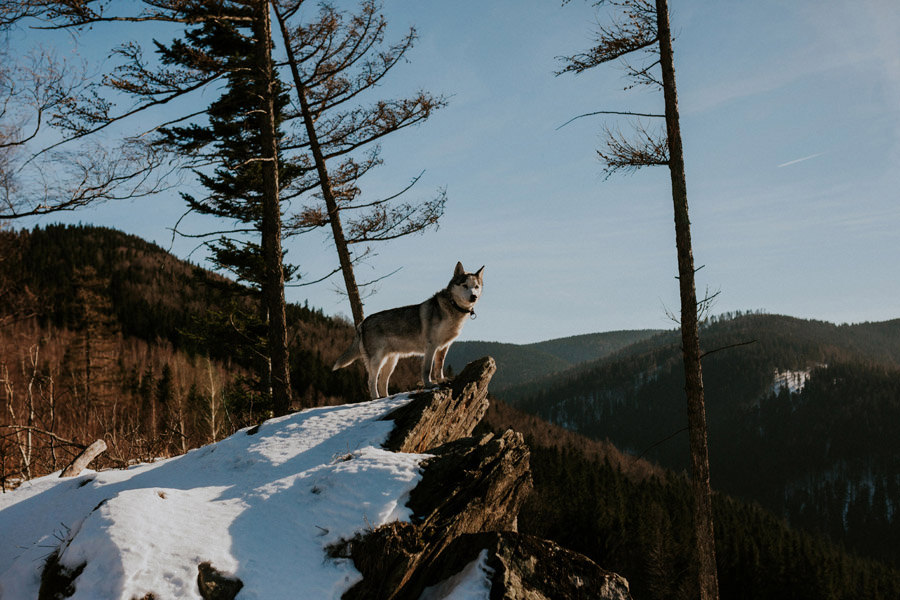 husky dog on the top of the rock
